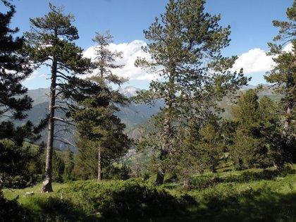 """Un estudio apunta a que el pino rojo crece más rápidamente después una """"sequía extrema"""""""