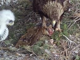 Un projecte conclou que l'àguila daurada regula la població de cabirols a l'Alt Pirineu