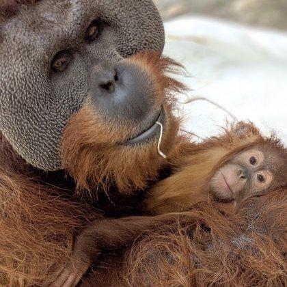 Un orangután macho se hace cargo de su cría tras la muerte de su madre en un gesto poco común en la naturaleza