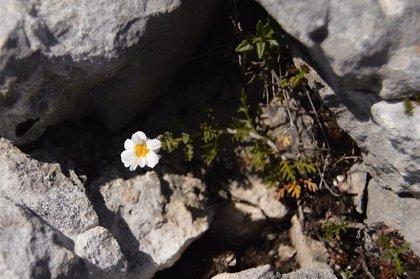 Se descubre la existencia de una planta hasta ahora desconocida en las sierras calizas de Burgos, Álava y La Rioja
