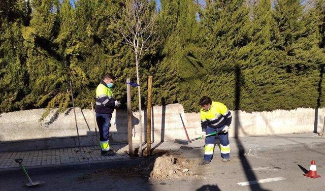 Plantación de un árbol en un alcorque de Jaén.