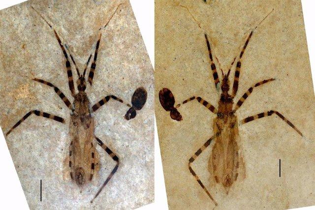 El fósil representa una nueva clase de los denominados 'insectos asesinos'
