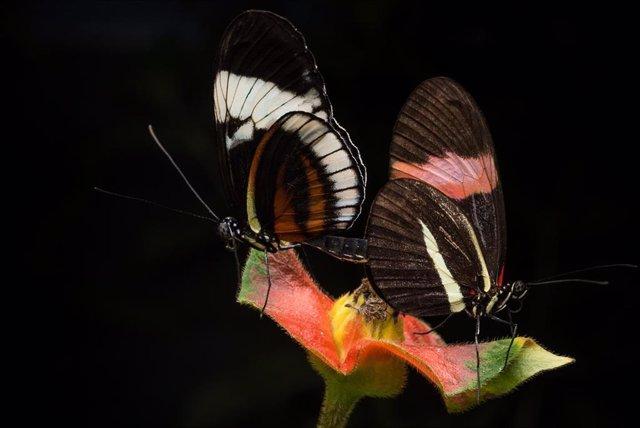 Dos mariposas apareándose en cautiverio. Heliconius cydno (izquierda) y Heliconius melpomene (derecha).