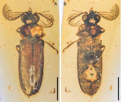 Hallado en ámbar un escarabajo de luz de hace 100 millones de años