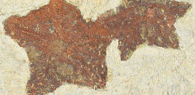 Aspecto del primer animal parecido a una estrella de mar