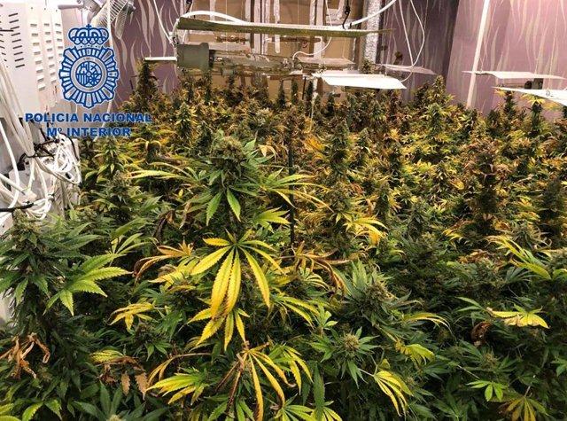 Plantación de marihuana hallada en Mérida