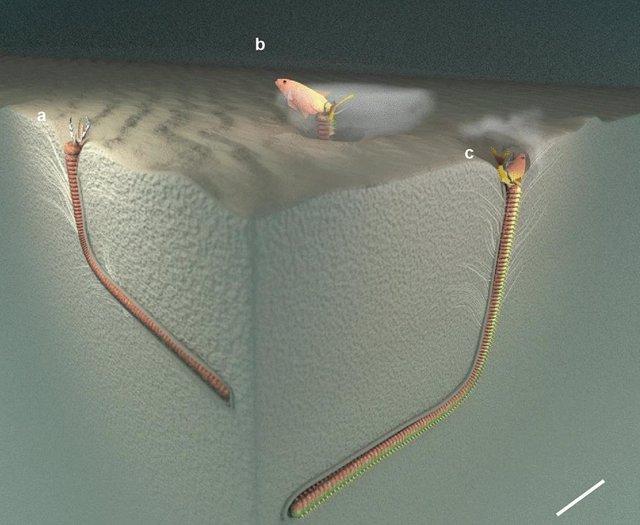 Recreación del gusano depredador de dos metros de largo en la madriguera cuyo rastro fósil ha sido identificado en el estudio