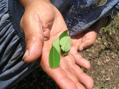 Bolivia reanudará la reducción de cultivos de hoja de coca excedente el 17 de febrero