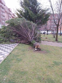 Arbol caído en Cuenca por el viento.