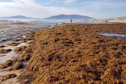 La UMA lidera un estudio para ayudar a prevenir y controlar la expansión del alga asiática