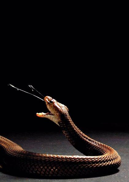 Un estudio muestra por primera vez la evolución defensiva del veneno de serpiente