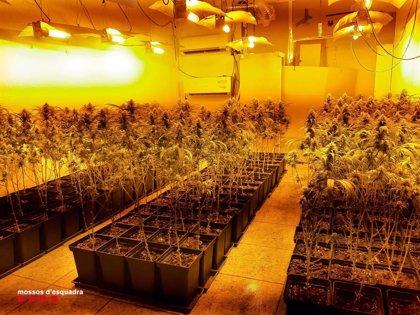 Desmantelados cuatro domicilios en Badalona (Barcelona) destinados al cultivo de marihuana