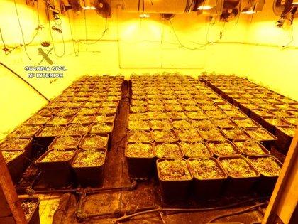 Detenido un matrimonio que ocultaba 287 plantas de marihuana en una caseta de jardín en Pedreguer (Alicante)