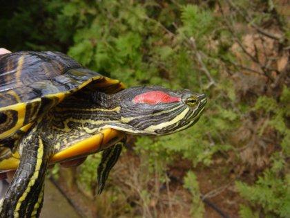 El 45% de los animales exóticos atendidos por el Cofib en 2020 están catalogados como especie invasora