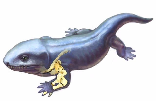 Recreación de los primeros Pederpes tetrápodos que muestran los huesos de las extremidades anteriores debajo de la piel.