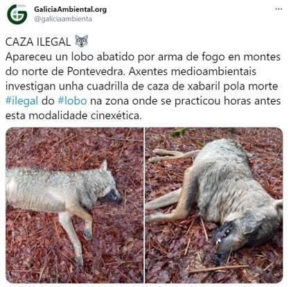 Agentes medioambientales de la Xunta investigan la aparición de una loba abatida en un monte de A Estrada (Pontevedra)