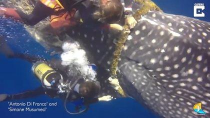 DESCONECTA.-Dos buceadores liberan a un tiburón ballena que se había quedado atrapado en una cuerda