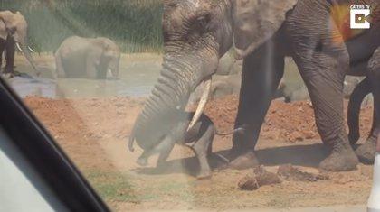 Este grupo de turistas grabó la terrible escena en la que un elefante macho adulto lanzó a una cría por los aires