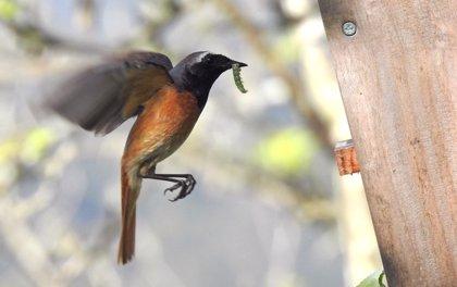 La instalación de cajas nidos para aves mejora el control de plagas en cultivos de manzano de sidra
