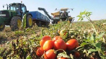 """APAG Extremadura Asaja y UPA-UCE instan a los productores de tomate a que no acepten """"precios ruinosos"""""""