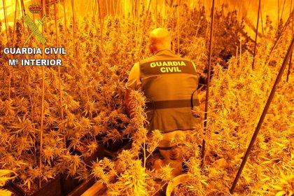 Desmantelado un cultivo con más de 2.000 plantas de marihuana en una nave Moixent para su distribución al por mayor