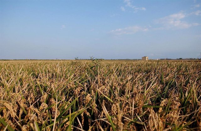 Campo de arroz en la Comunitat valenciana