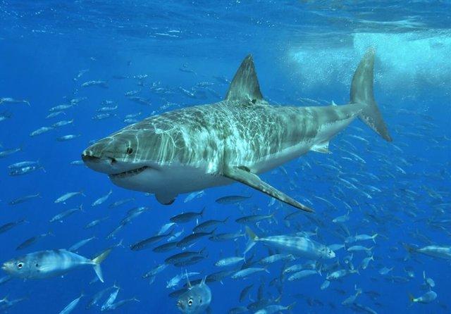 Gran tiburón blanco, una de las especies incluidas en el estudio