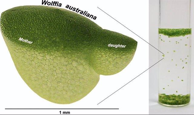 La diminuta planta acuática Wolffia, también conocida como lenteja de agua, es la planta de crecimiento más rápido conocida.