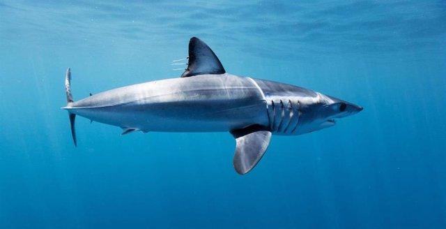 Shark League celebra las nuevas medidas del Gobierno español para proteger a los marrajos en peligro de extinción
