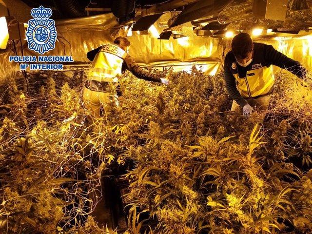 Imatge de la marihuana desmantellada