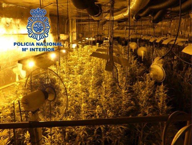 Uno de los cultivos de marihuana descubiertos en la operación policial.