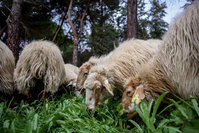 Un rebaño de ovejas pastando.