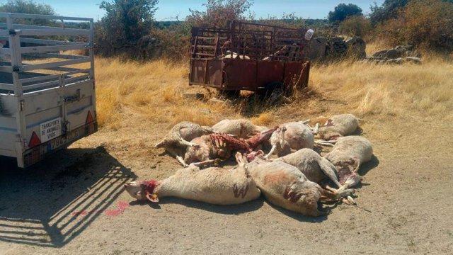 La Unión de Pequeños Agricultores y Ganaderos (UPA) denuncia el ataque de lobos a la ganadería