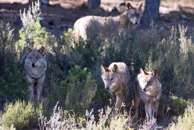 Varios lobos ibéricos del Centro del Lobo Ibérico en localidad de Robledo de Sanabria, en plena Sierra de la Culebra (lugar de mayor concentración de este cánido en el Sur de Europa).
