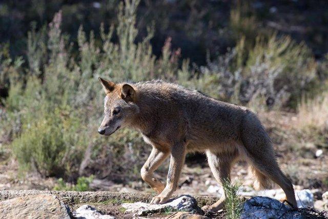 Un lobo ibérico del Centro del Lobo Ibérico en localidad de Robledo de Sanabria, en plena Sierra de la Culebra (lugar de mayor concentración de este cánido en el Sur de Europa). El Centro alberga 11 ejemplares de este animal en situación de semilibertad e