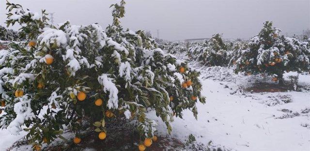 Campo de naranjos nevado en Vallada