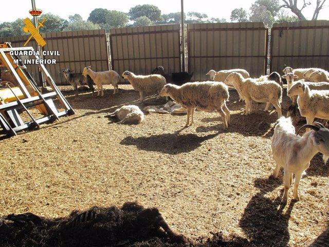Investigado por maltrato animal al localizarse en una granja de su propiedad 43 cadáveres de ovejas y cabras.