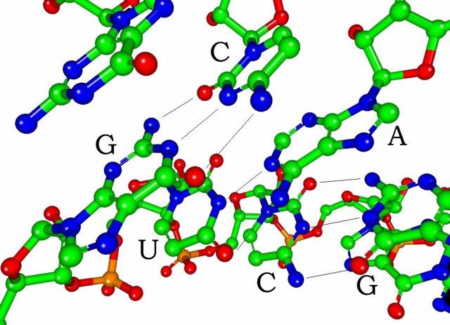 Imagen que muestra el apareamiento de las bases nitrogenadas del ADN (arriba) con el ARN (abajo). /