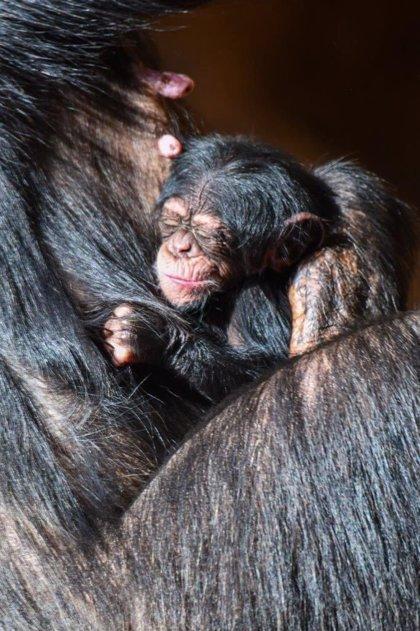 COMUNICADO: Nace una cría de chimpancé en Loro Parque