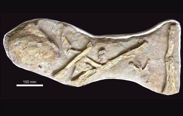 La losa original, tal como se compró, con el pulmón osificado de celacanto muy cerca de una serie de elementos de ala asociados pero desarticulados de un pterosaurio grande, pero indeterminado.
