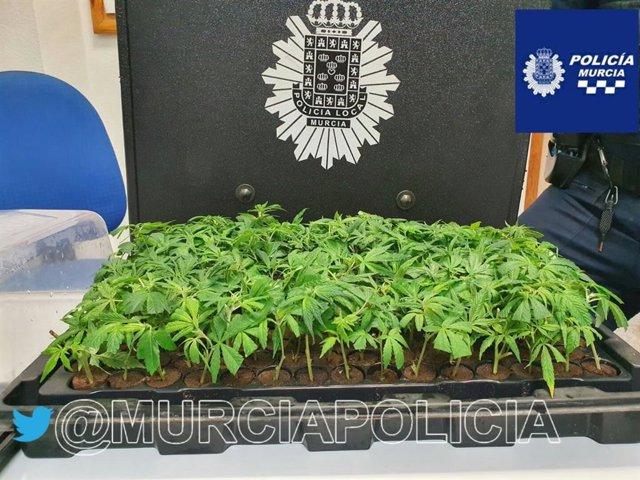 Plantas de marihuana interceptadas a un conductor en La Paz (Murcia)