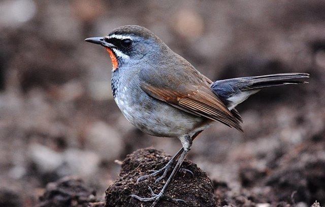 Luscinia pectoralis, especie de ave cantora del Himalaya