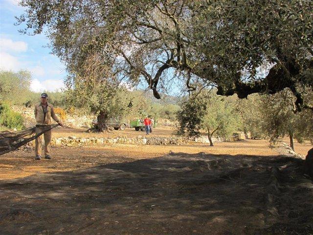 """Economía/Agricultura.- COAG pide un plan de recuperación del olivo para las """"miles"""" de hectáreas dañadas por Filomena"""