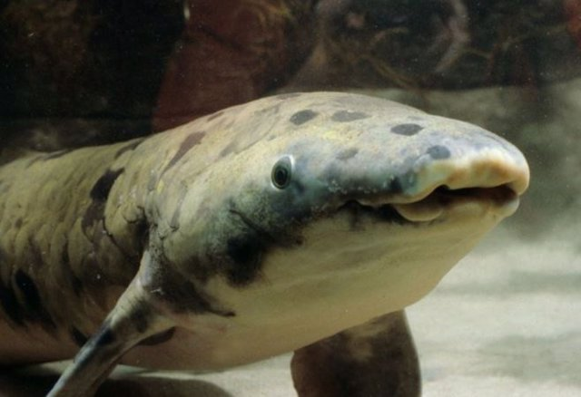 Ciencia.-El pez pulmonado australiano, nuestro pariente acuático más cercano