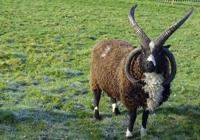 Ejempla de cabra de cuatro cuernos