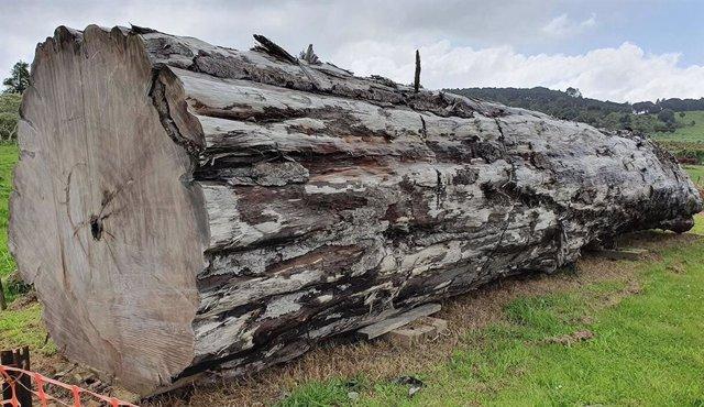 Utilizando un antiguo tronco de árbol kauri de Ngawha, Nueva Zelanda, los científicos han fechado el momento y los impactos ambientales del último interruptor de polo magnético.