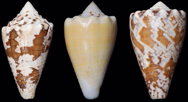 Archivo - Caracol Conus regio, cono real, caracolas