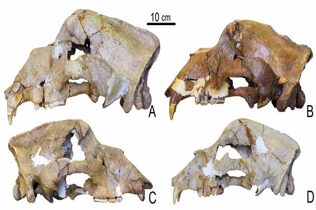 Archivo - Cráneos de oso de las cavernas de las cuevas de Kudaro en las montañas del Cáucaso, incluido (D) del Pleistoceno medio