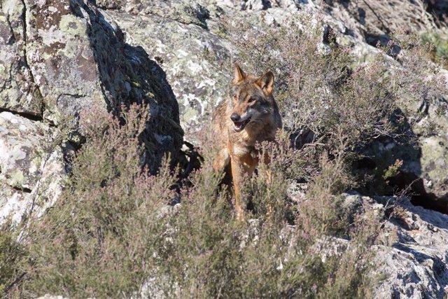 Archivo - Un lobo ibérico