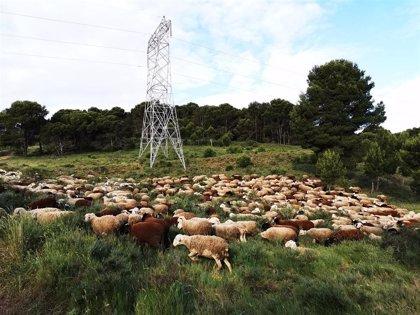 Red Eléctrica desarrolla proyecto pionero en España que controla por pastoreo la vegetación bajo las líneas eléctricas